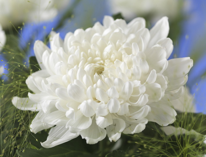 Touching the Legend. Chrysanthemum Gagarin.