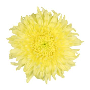 "Chrysanthenum ""Magnum Yellow"""