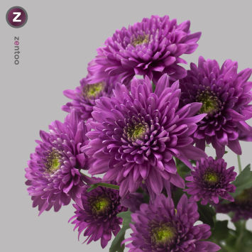 Chrysanthemum spray - Romance Purple