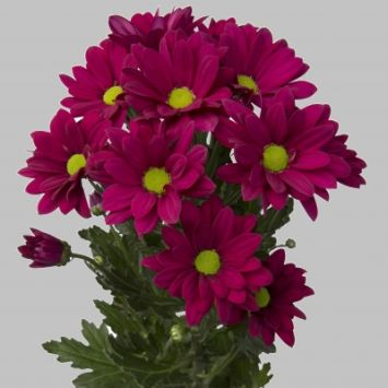 Chrysanthemum spray - Purple Star
