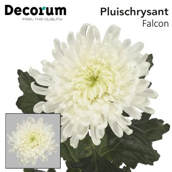 Chrysantemum Falcon