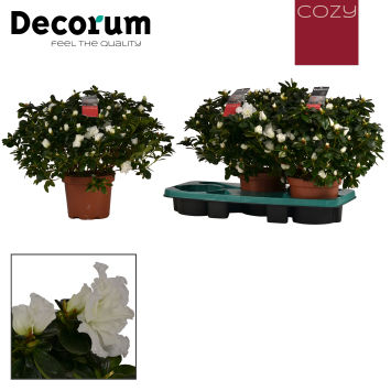 Decorum Cozy