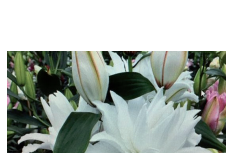 Novelties Royal FloraHolland - Roselily Maxima