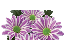 Novelties Royal FloraHolland - Stripy