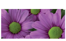 Novelties Royal FloraHolland - Memphis Pink