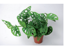 Novelties Royal FloraHolland - Monkey Leaf