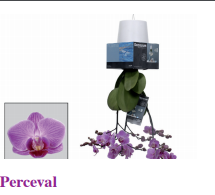Novelties Royal FloraHolland - Perceval