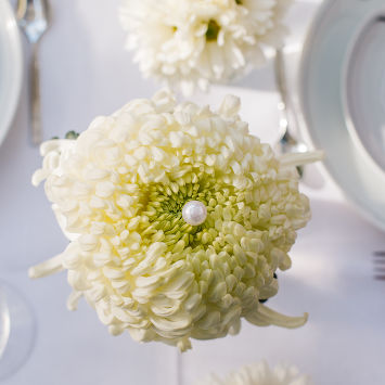 Chrysanthemum Vienna White