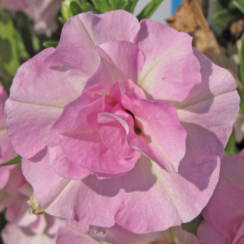 Петуния (Petunia) SweetSunshine® Light Pink