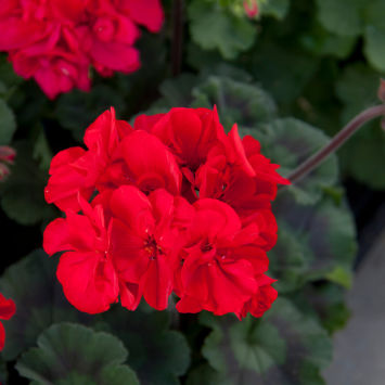 Пеларгония (Pelargonium) Moonlight® Tumbao