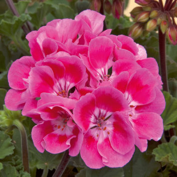 Пеларгония (Pelargonium) Moonlight® Vineta