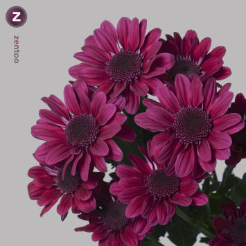 Хризантема (Chrysanthemum) - Stresa Purple