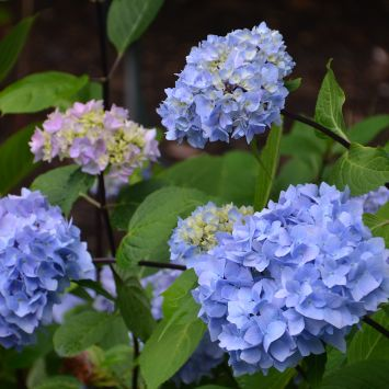 Hydrangea macrophylla So Long ® Ebony  'Monmar'