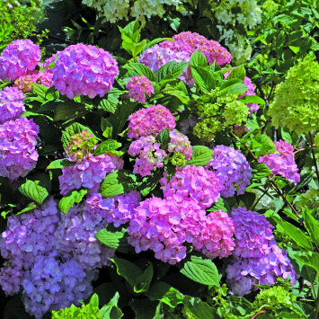 Hydrangea So Long ® Rosy 'Coumont'